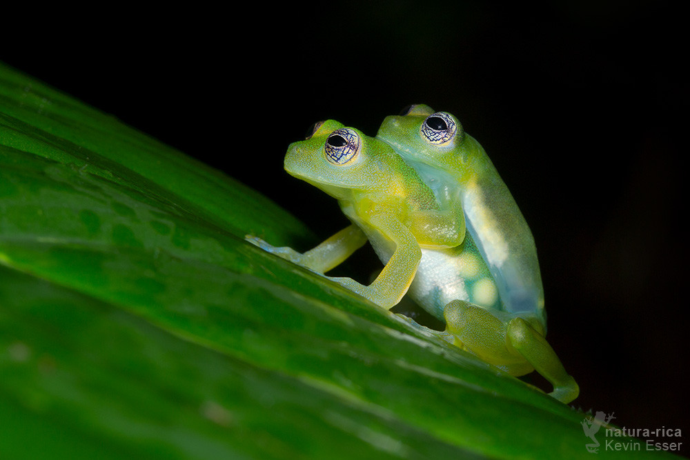 Teratohyla spinosa - Spiny Glass Frogs