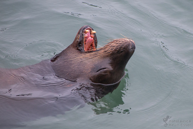 Zalophus californianus - California Sea Lion