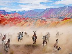 ACRYLIC GLASS ON ALUMINUM BASE Colorful Zebras