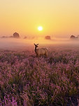 CANVAS Heathland Deer