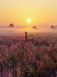 POSTER Heathland Deer