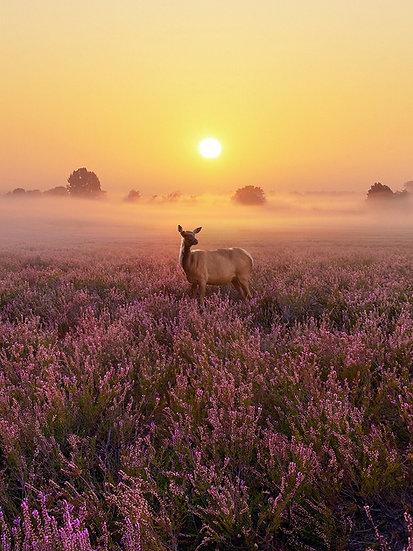 PREMIUM ALUMINUM DIBOND Heathland Deer