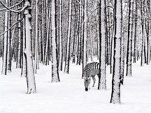 POSTER Snow Zebra