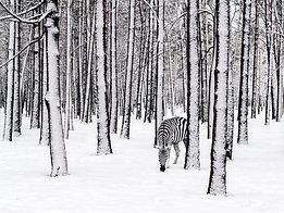 ACRYLIC GLASS ON ALUMINUM BASE Snow Zebra
