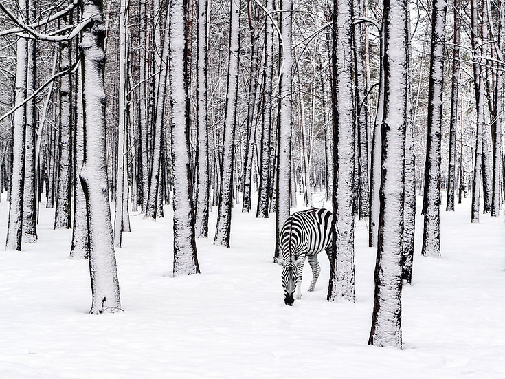 CANVAS Snow Zebra