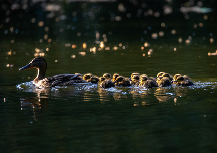 20180510-6A6A317676818ducklings04May 10,
