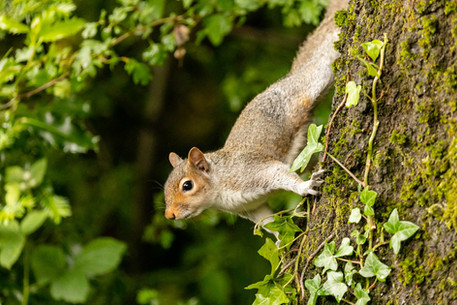 squirrel portrait 12_A6A7950239 20190612