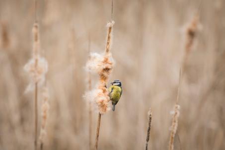 blue tit on the reeds20190331.jpg