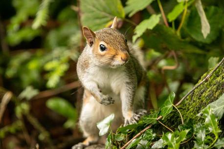 squirrel portrait 8_A6A7923212 20190612.