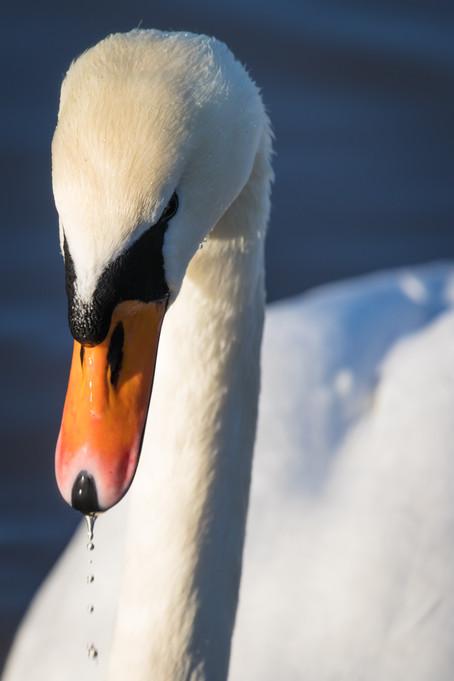 swan head 3.jpg