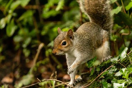 squirrel portrait 6_A6A7908197 20190612.