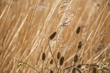 6A6A2076-Editrushes reeds.jpg