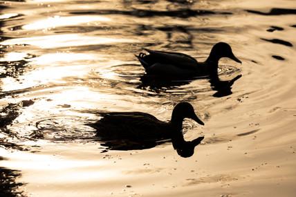 6A6A3808November 17 2017Print 8 duck duo