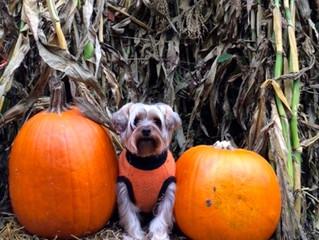 Picking a Pumpkin!