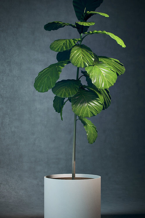 3d Model Potted Fig Tree