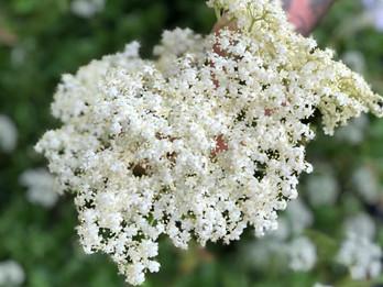 Elderflower Cordial / Sok od Zove