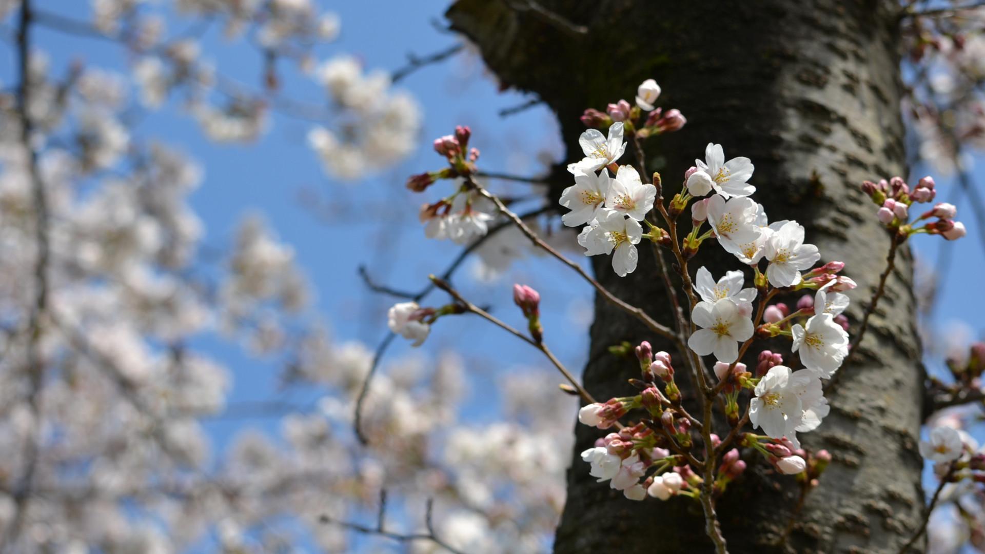 桜材で作った「桜のゆず胡椒さじ」