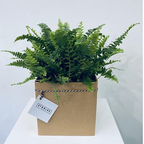 Boston Fern, gift packaged