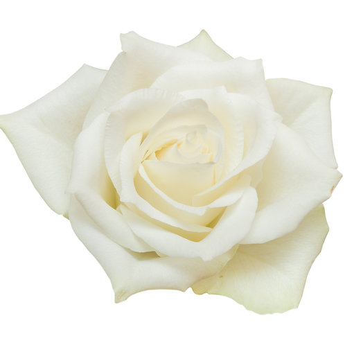 THE PURE ONE  - LUXURY WHITE ROSE BOUQUET