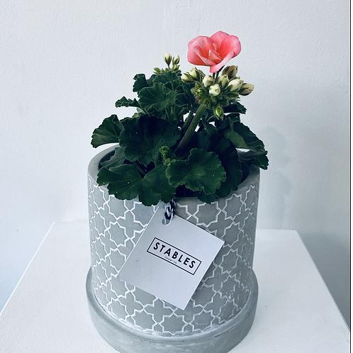 Geranium planter grey