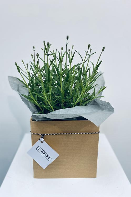 Lavender plant - medium ( English variety)
