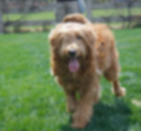 Denver goldendoodle