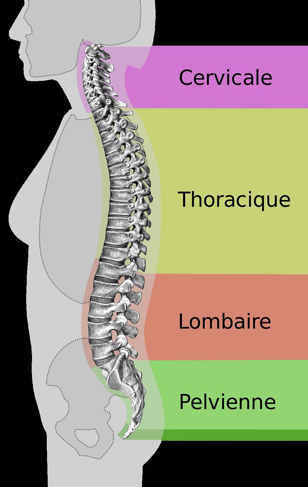 Description de la colonne vertébrale et des maux associées