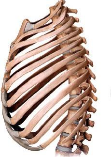 anatomie du rachis dorsal
