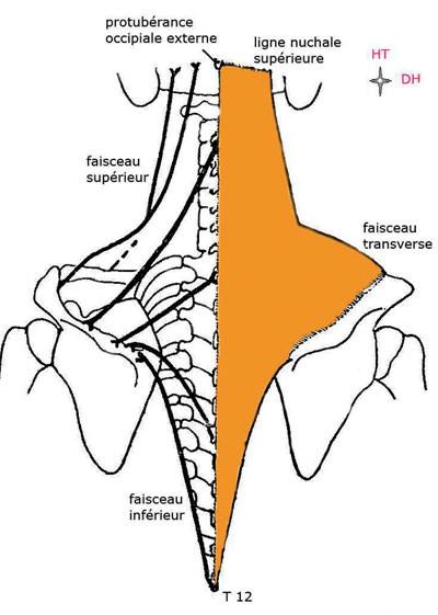 le muscle trapèze