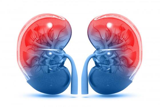The Importance Of Your Kidneys