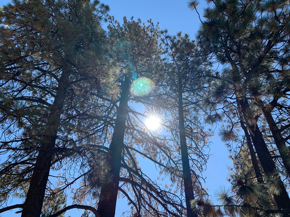 Our Canopy of Coulter Pine Trees - Grand Pine Cabins Wrightwood Hotel