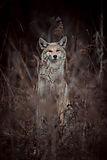 Coyote2019_Pahlisch.jpg