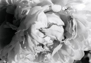 """""""Peony Flower"""""""