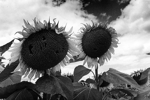 Michael Bunton - Sunflower Field