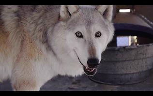 Littlewolf.png