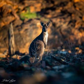 Kangaroo - Mutawinji