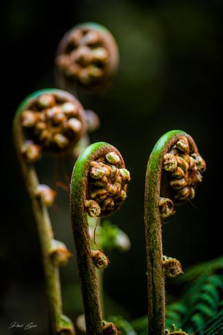 Ferns, Black Spr