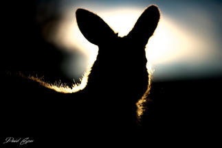 Kangaroo Silhouette Tasmania
