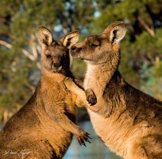 Kangaroo Conversation