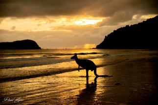 Kangaroo Silhouette Cape Hillsborough