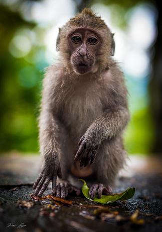 Monkey, Lombok