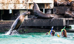 Seal off Sorrento