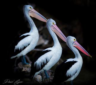 Pelicans, South Australia