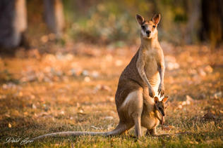 Kangaroo - Katherine Gorge