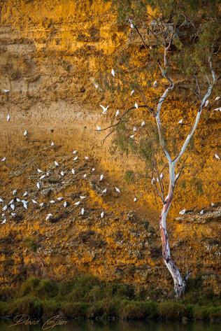Cockatoos, South Australia