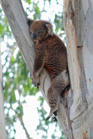 Tired Koala, Tocumwal.