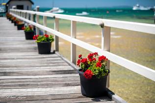 Flowers along Sorrento Jetty