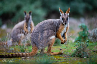 Yellow Footed Rock Wallaby - Flinders Ranges