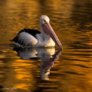 Pelican in Golden Light