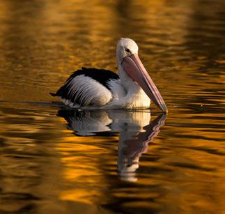 Pelican, South Australia